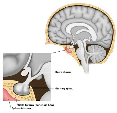 the pituitary gland - imperial centre for endocrinology, Sphenoid